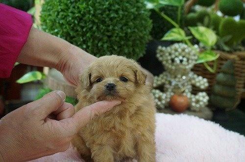 ミックスの子犬(ID:1231011478)の3枚目の写真/更新日:2019-09-03