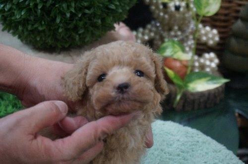 トイプードルの子犬(ID:1231011480)の2枚目の写真/更新日:2019-09-26