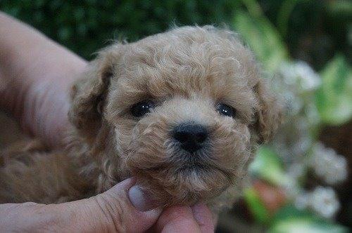 トイプードルの子犬(ID:1231011482)の1枚目の写真/更新日:2019-09-29