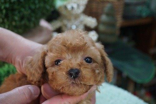 トイプードルの子犬(ID:1231011485)の1枚目の写真/更新日:2019-11-12