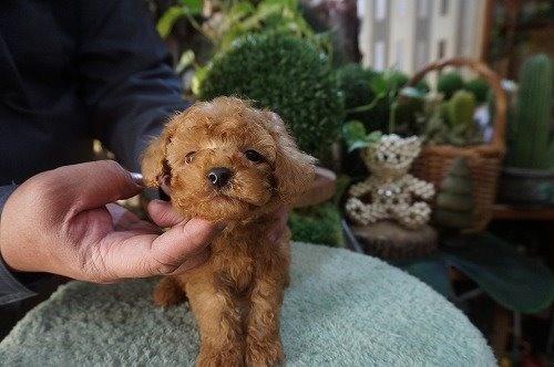 トイプードルの子犬(ID:1231011485)の3枚目の写真/更新日:2019-11-12