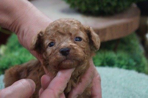 トイプードルの子犬(ID:1231011486)の1枚目の写真/更新日:2019-10-25
