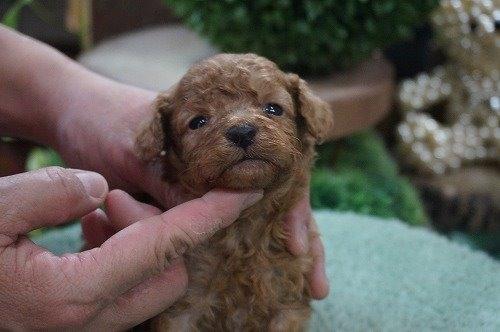 トイプードルの子犬(ID:1231011486)の3枚目の写真/更新日:2019-10-25