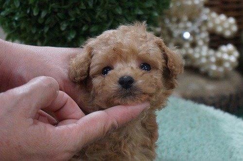トイプードルの子犬(ID:1231011487)の1枚目の写真/更新日:2019-11-07