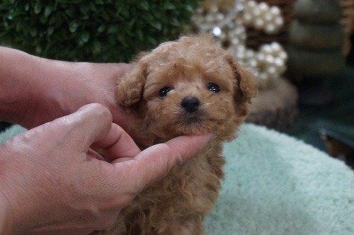 トイプードルの子犬(ID:1231011487)の2枚目の写真/更新日:2019-11-07