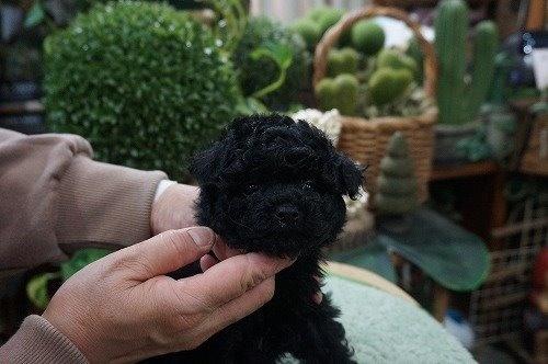 トイプードルの子犬(ID:1231011518)の1枚目の写真/更新日:2020-04-26