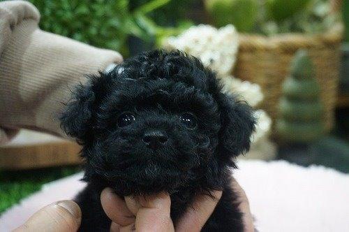 トイプードルの子犬(ID:1231011519)の1枚目の写真/更新日:2020-04-26