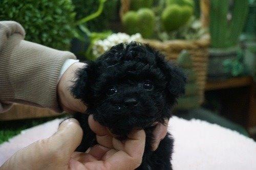 トイプードルの子犬(ID:1231011519)の2枚目の写真/更新日:2020-04-26