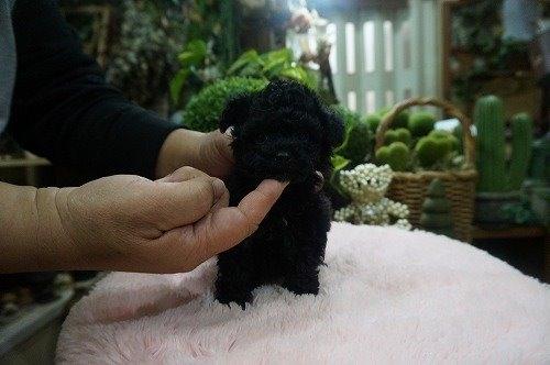 トイプードルの子犬(ID:1231011519)の3枚目の写真/更新日:2020-04-26