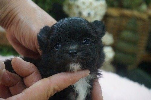 ミックスの子犬(ID:1231011522)の1枚目の写真/更新日:2020-05-12