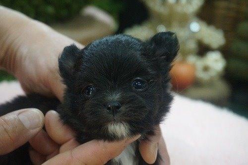 ミックスの子犬(ID:1231011522)の2枚目の写真/更新日:2020-05-12