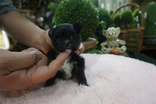 ミックスの子犬(ID:1231011522)の3枚目の写真/更新日:2020-05-12