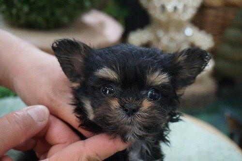 ミックスの子犬(ID:1231011523)の1枚目の写真/更新日:2020-05-11