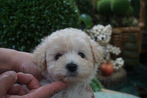 トイプードルの子犬(ID:1231011526)の1枚目の写真/更新日:2020-05-13