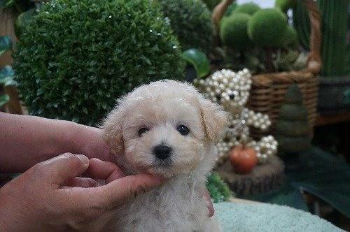 トイプードルの子犬(ID:1231011526)の2枚目の写真/更新日:2020-05-13