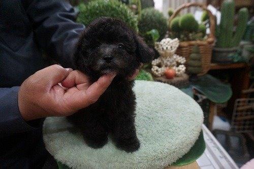 トイプードルの子犬(ID:1231011527)の2枚目の写真/更新日:2020-05-13