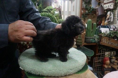 トイプードルの子犬(ID:1231011527)の3枚目の写真/更新日:2020-05-13