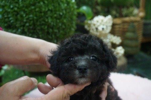 トイプードルの子犬(ID:1231011528)の1枚目の写真/更新日:2020-05-13
