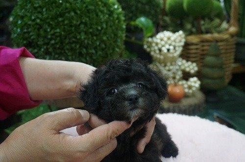 トイプードルの子犬(ID:1231011528)の2枚目の写真/更新日:2020-05-13