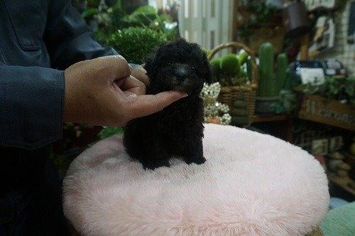トイプードルの子犬(ID:1231011528)の3枚目の写真/更新日:2020-05-13