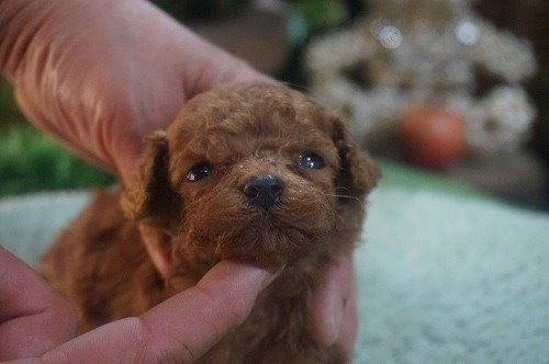 トイプードルの子犬(ID:1231011533)の1枚目の写真/更新日:2020-05-30