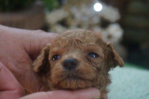 トイプードルの子犬(ID:1231011534)の2枚目の写真/更新日:2020-05-30