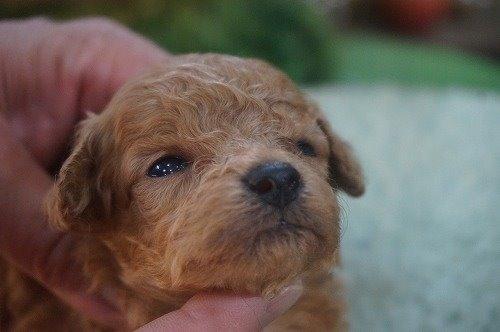 トイプードルの子犬(ID:1231011535)の1枚目の写真/更新日:2020-05-30