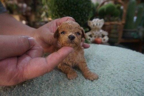 トイプードルの子犬(ID:1231011535)の2枚目の写真/更新日:2020-05-30