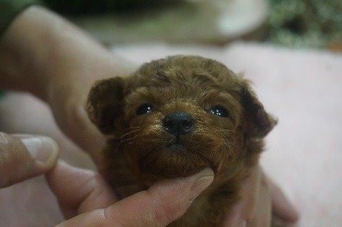 トイプードルの子犬(ID:1231011536)の1枚目の写真/更新日:2020-06-23
