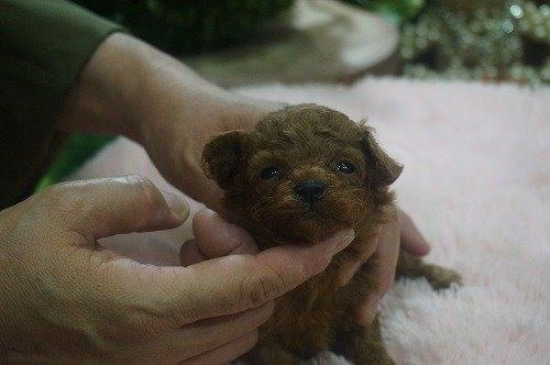 トイプードルの子犬(ID:1231011536)の2枚目の写真/更新日:2020-06-23