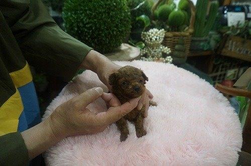 トイプードルの子犬(ID:1231011536)の3枚目の写真/更新日:2020-06-23