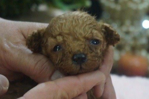 トイプードルの子犬(ID:1231011537)の1枚目の写真/更新日:2020-06-25