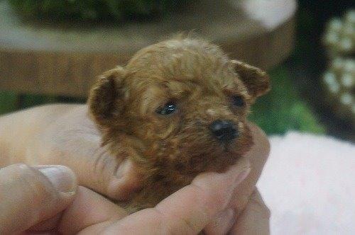 トイプードルの子犬(ID:1231011537)の2枚目の写真/更新日:2020-06-25