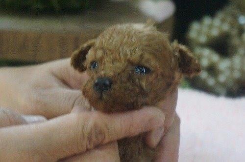 トイプードルの子犬(ID:1231011537)の3枚目の写真/更新日:2020-06-25