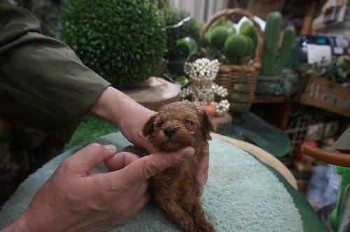 トイプードルの子犬(ID:1231011538)の1枚目の写真/更新日:2020-06-23
