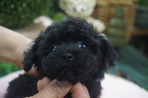 トイプードルの子犬(ID:1231011539)の1枚目の写真/更新日:2020-07-11