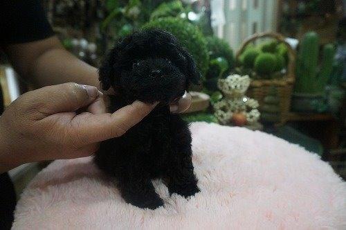 トイプードルの子犬(ID:1231011539)の3枚目の写真/更新日:2020-07-11