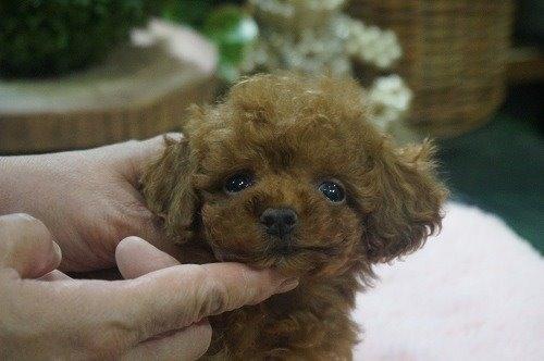トイプードルの子犬(ID:1231011544)の1枚目の写真/更新日:2020-07-30
