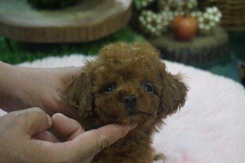 トイプードルの子犬(ID:1231011544)の2枚目の写真/更新日:2020-07-30