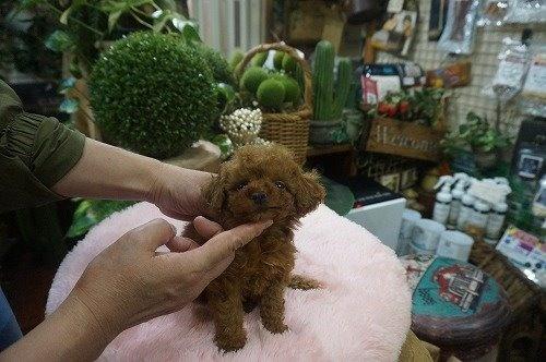 トイプードルの子犬(ID:1231011544)の3枚目の写真/更新日:2020-07-30