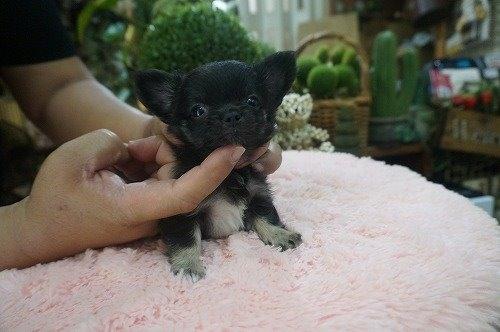 チワワ(ロング)の子犬(ID:1231011545)の1枚目の写真/更新日:2020-08-05