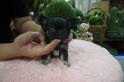 チワワ(ロング)の子犬(ID:1231011545)の2枚目の写真/更新日:2020-08-05