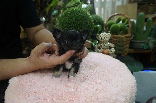 チワワ(ロング)の子犬(ID:1231011545)の3枚目の写真/更新日:2020-08-05