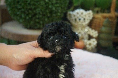 ミックスの子犬(ID:1231011549)の2枚目の写真/更新日:2020-09-08