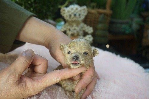 ミックスの子犬(ID:1231011551)の3枚目の写真/更新日:2020-08-25