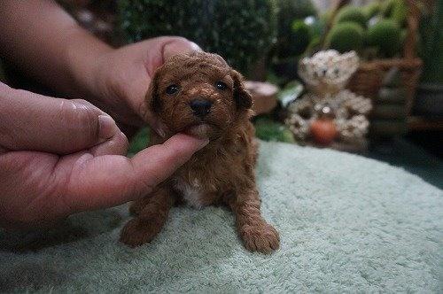 トイプードルの子犬(ID:1231011553)の2枚目の写真/更新日:2020-09-01