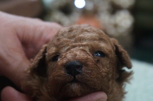 トイプードルの子犬(ID:1231011554)の1枚目の写真/更新日:2020-09-01