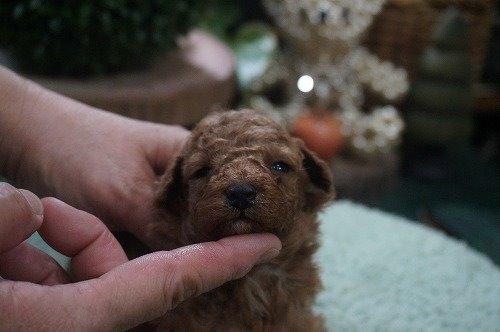 トイプードルの子犬(ID:1231011554)の2枚目の写真/更新日:2020-09-01