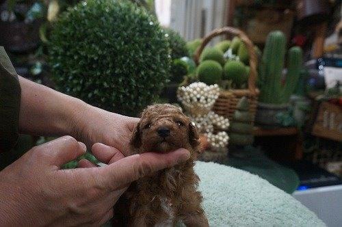 トイプードルの子犬(ID:1231011554)の3枚目の写真/更新日:2020-09-01