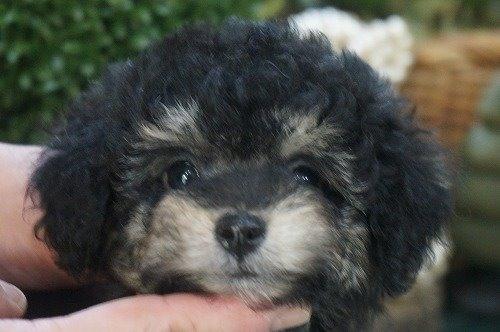 トイプードルの子犬(ID:1231011555)の1枚目の写真/更新日:2020-09-10
